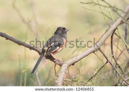 Eastern Towhee (Pipilo erythrophthalmus) in a tree