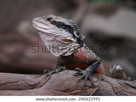 Eastern water dragon, Australia - stock photo