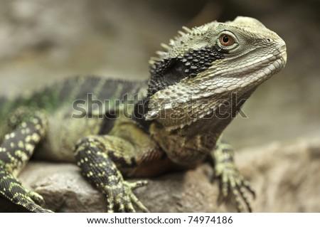 eastern water dragon, full length , sydney, australia - stock photo