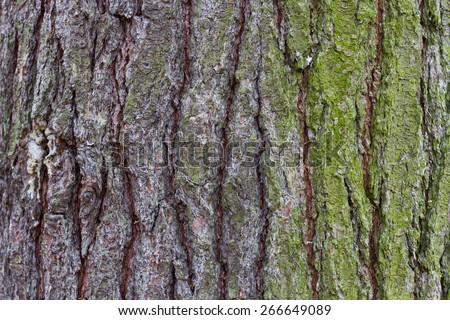 Eastern White Pine tree bark image - stock photo