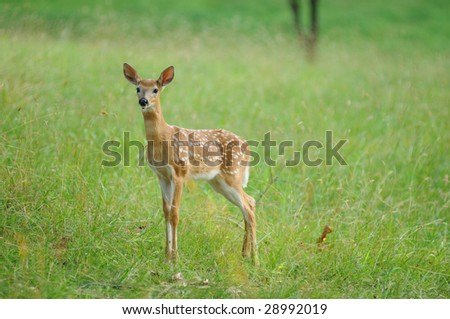 Eastern White Tail deer fawn in green meadow - stock photo