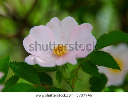 Easy pink wild rose flower in close-up on the green leaves background
