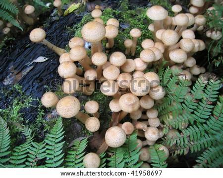 eatable mushrooms (honey agarics) - stock photo