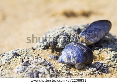 eatable mussels on a beach and sea, shells, Melbourne, Australia - stock photo