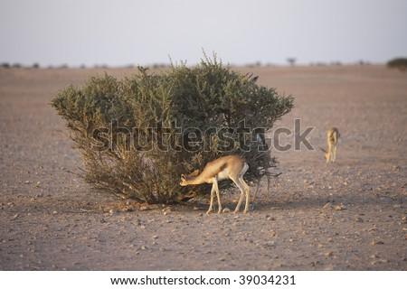 eating arabian gazelle - stock photo