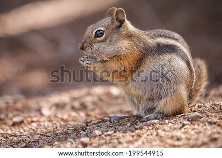 eating colorado chipmunk in the Rocky Mountain National Park, USA - stock photo
