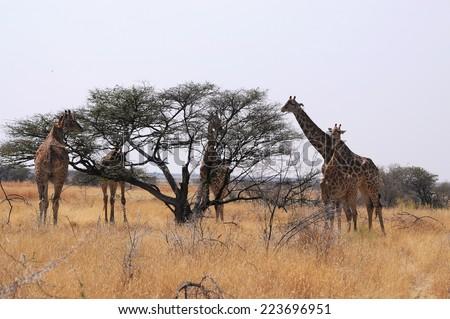 Eating giraffes on safari wild drive - stock photo