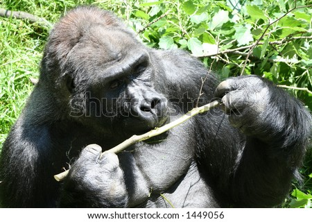 Eating gorilla - stock photo