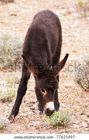 Eating Green  Wild Burro Foal Red Rock Canyon Nevada - stock photo