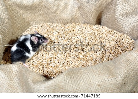 eating in bag wheat with grain mouse