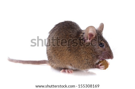 eating mouse in front of white background