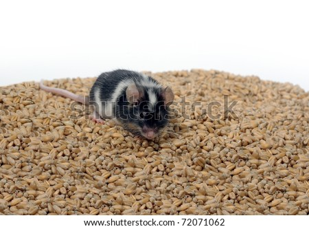 eating on wheat's background grain mouse - stock photo