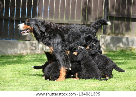 Eating puppies of Bernese Mountain Dog in the garden - stock photo