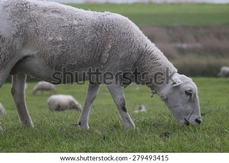 Eating sheep walking in grass with other sheep - stock photo