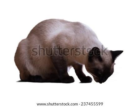 Eating Siamese cat, isolated on white background - stock photo
