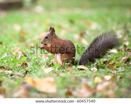 Eating squirrel sitting on a grass