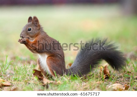 Eating squirrel sitting on the grass - stock photo