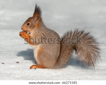 Eating squirrel sitting on the snow - stock photo