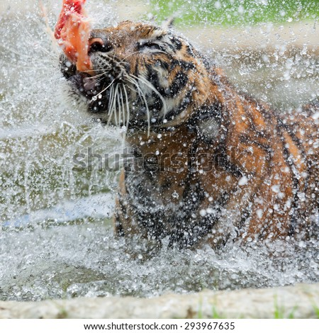 Eating tiger in the water during the day. - stock photo
