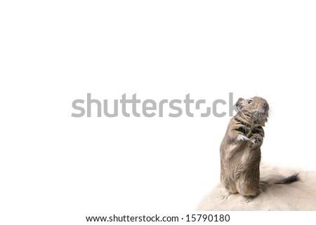 eavesdropper degu - stock photo