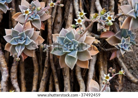 Echeveria or Stone Rose - stock photo