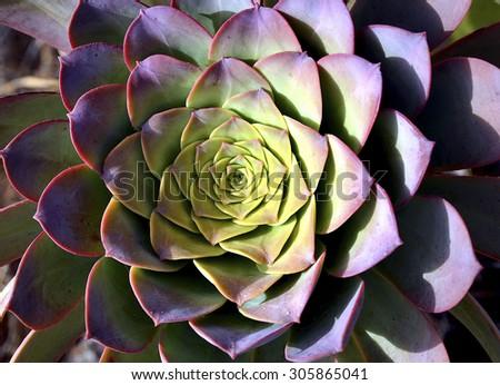 Echeveria succulent plant close up. - stock photo
