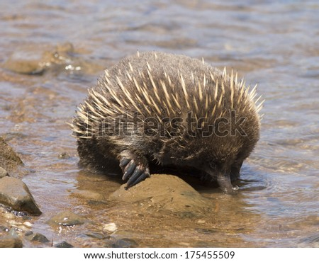 Echidna enjoying the water