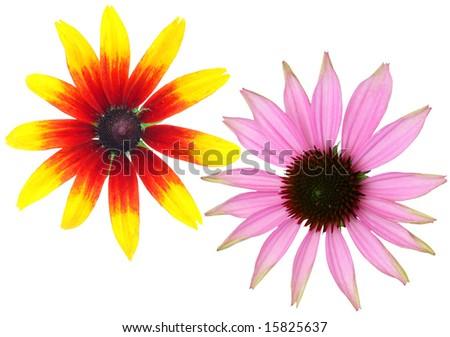 Echinacea closeup isolated - stock photo