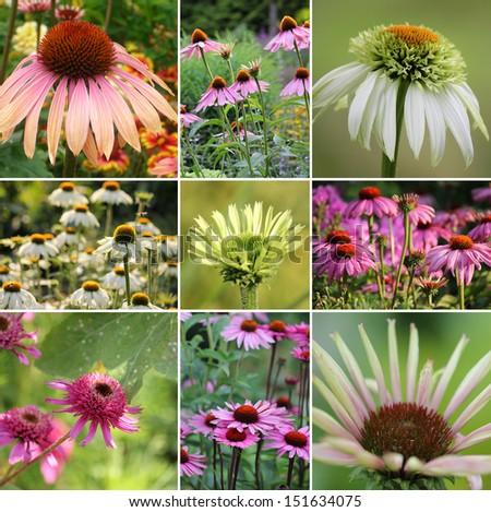 Echinacea collage - stock photo