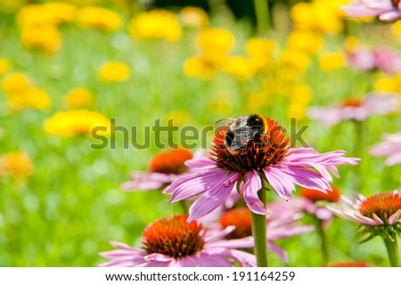 Echinacea (coneflowers) and bumblbee on the green and yellow background - stock photo