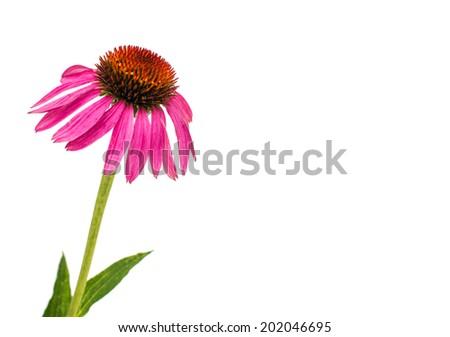 echinacea flower isolated on white background - stock photo