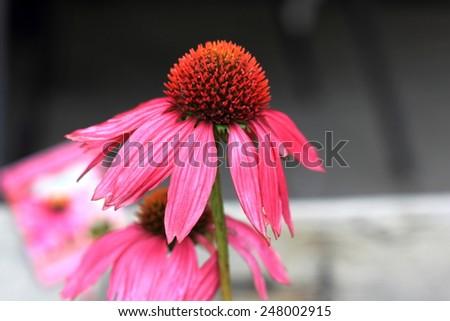 Echinacea flowers alternate healthcare concept - stock photo