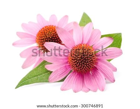 Echinacea flowers close up isolated on white backgrounds. Medicinal plant. - stock photo