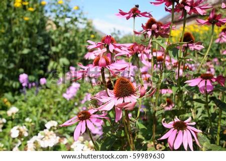 Echinacea in the garden - stock photo