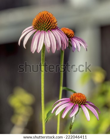 Echinacea or coneflower is a herbaceous flowering perennial that is the source of alternative medicine said to fight the common cold by stimulating the immune system.  - stock photo