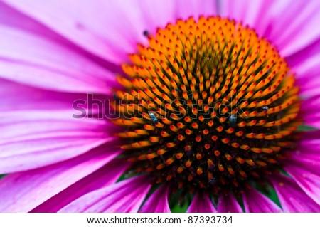 Echinacea plant - stock photo