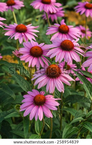 Echinacea purpure Coneflower Rubinstern flower - stock photo