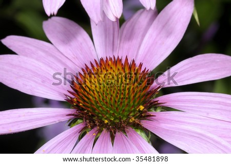 echinacea purpurea - stock photo
