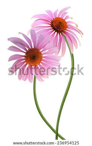 Echinacea purpurea coneflower Flower isolated on white background  - stock photo