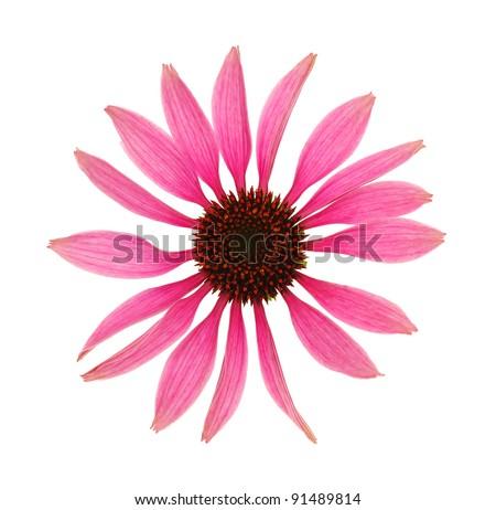Echinacea purpurea flower head isolated on white background - stock photo