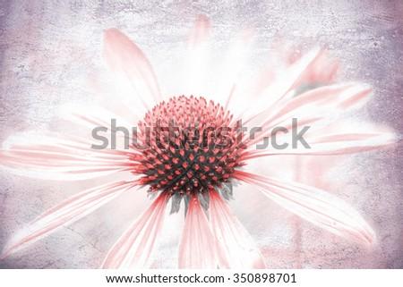 echinacea purpurea, light pink healing herb with delicate texture - stock photo