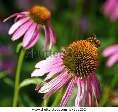Echinacea purpurea or coneflower - medicinal herb, homeopathic means to stimulate the body's immune system. - stock photo