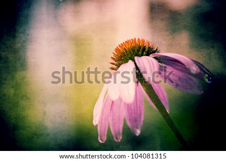 Echinacea Purpurea (purple coneflower) is used for homeopathic purposes to boost immunity - stock photo
