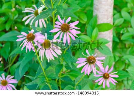 Echinacea purpurea, purple coneflower,  the daisy family flowers in a garden. selective focus, shallow dof - stock photo