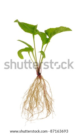 Echinacea purpurea  seedling over white background