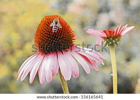 echinacea purpurea with honeybee, perennial herb in autumn - stock photo