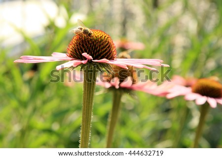Echinacea with bumblebee in country home rustic ecological garden by very sunny day - stock photo