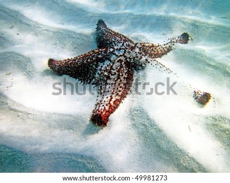 echinoderm, seastar, starfish under water photo - stock photo