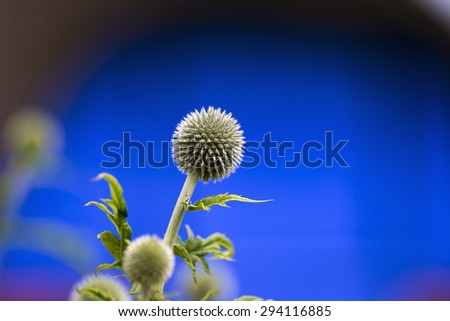 Echinops -closeup  globe thistles plant, spherical flower head on blue background - stock photo