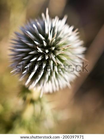 Echinops - globe thistles plant, spherical flower head - stock photo